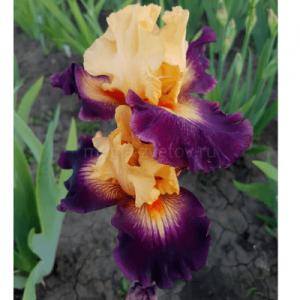 """Ирис """"Heart Is On"""""""